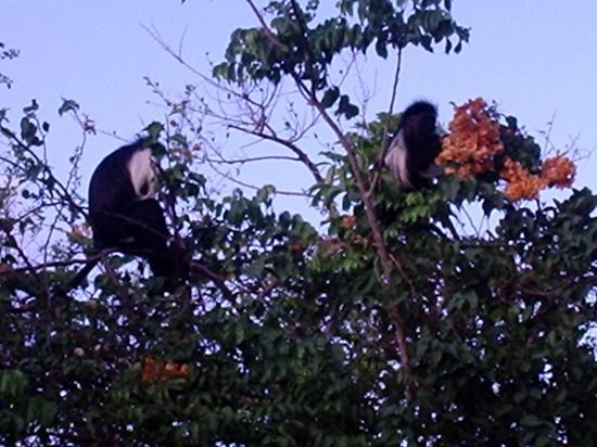 Pinewood Beach Resort & Spa: Resident Colobus Monkeys