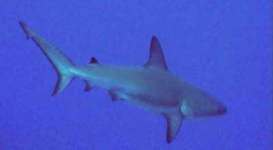 Harbour Club Villas & Marina: Reef Shark off West Caicos