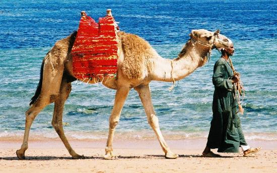 Sharm-el-Sheikh, Egypte: Camel on Beach One