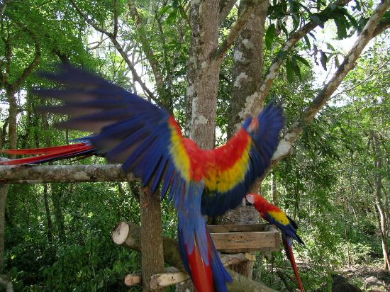 La Ceiba, Honduras: Beautiful Macaws