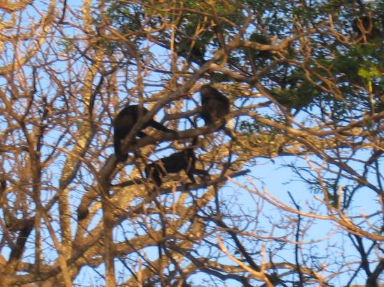 Casa Cook: Howler monkeys in the trees next door!