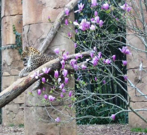 Greenville, Carolina del Sur: lounging leopard