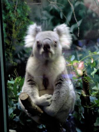 San Francisco Zoo : Cute Koala