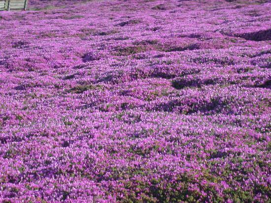 Ice Plants in Pacific Grove