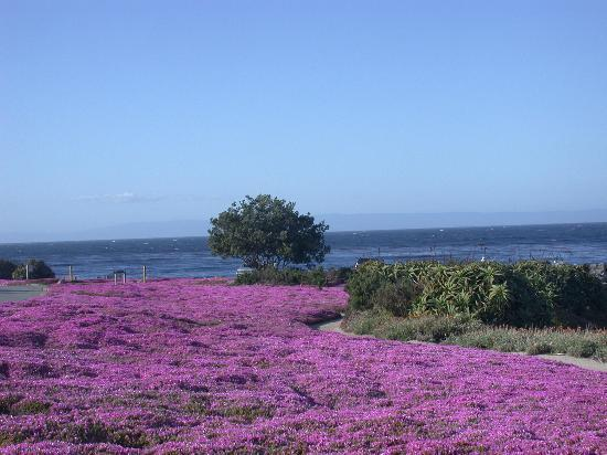 Pacific Grove, Califórnia: Ice Plants Grow Along the Paths