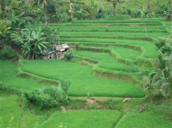 Sayan, Indonesië: You can sign up for a hike to go through nearby terraced rice fields