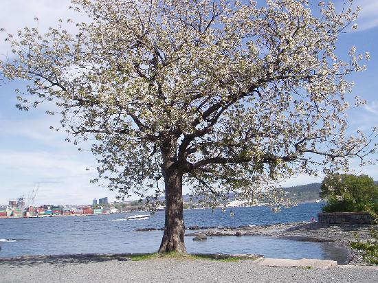 Oslo, Noorwegen: Cherry tree in blossom in May on Bygdøy