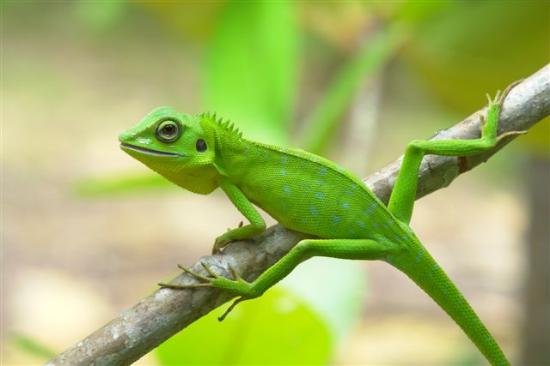 Damai Puri Resort & Spa: green lizard in the rainforest