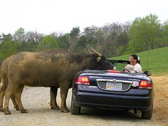 Natural Bridge, VA: The Easter Water Buffalo