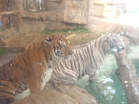 Puerto Plata Village Resort: ocean world tiger pool