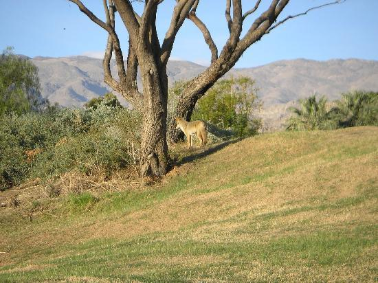 PGA West TPC Stadium Golf Course: coyote on the course