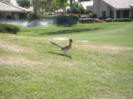 PGA West TPC Stadium Golf Course: road runners are real!