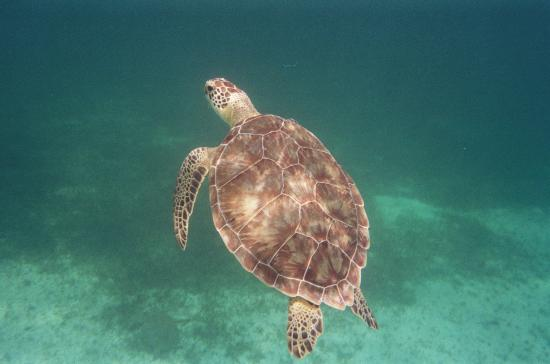Turks og Caicos: Turtle at Coral Gardens