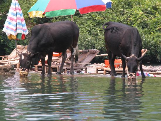 Yangshuo County, China: Yangshou Beachbulls
