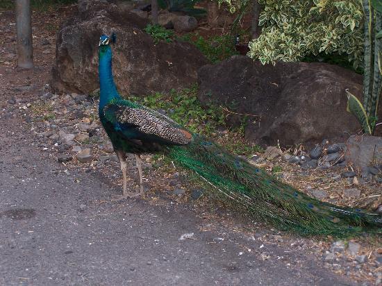 Makaha Valley Towers: Wild peacocks roam the grounds