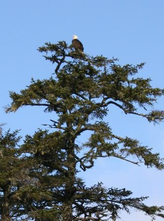 Wickaninnish Inn and The Pointe Restaurant: Bald eagle - picture captured on Fank's Island -walking distance from the resort