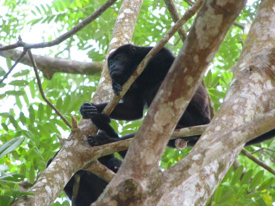 Pachira Lodge: Howler monkey outside room, will wake you up at 5am guaranteed!