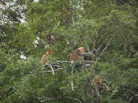 Trekkers Lodge Kinabatangan: Proboscis Monkeys