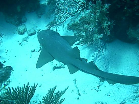 Hamanasi Adventure and Dive Resort: Nurse Shark@Barrier Reef