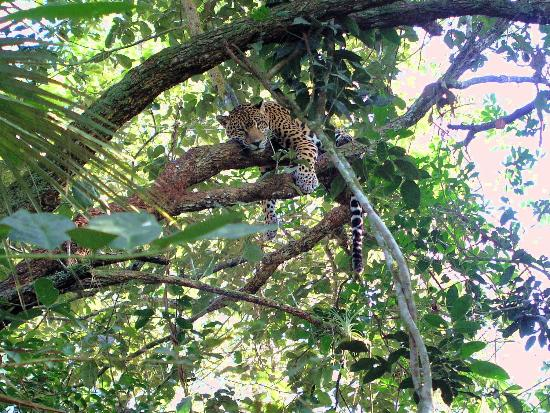 Hamanasi Adventure and Dive Resort: Jaguar napping in a tree