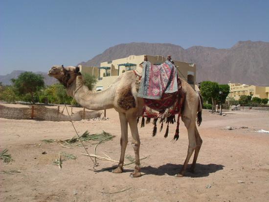 El Wekala Golf Resort: Camel on the beach