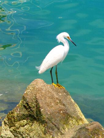 Baja California, Mexiko: Snowy White Egret