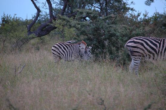 andBeyond Ngala Safari Lodge: zebras
