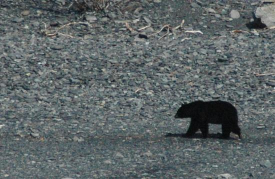 Kenai Fjords Tours: Black Bear