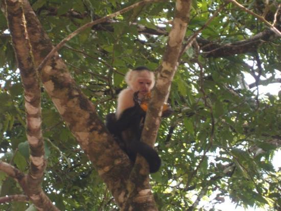 Marenco Beach & Rainforest Lodge: Lots of Monkeys Here