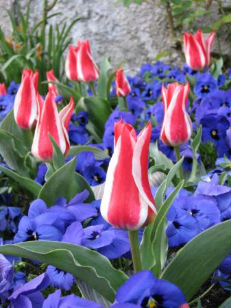 Villa Carlotta: tulips blooming on site