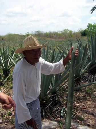Merida, Meksika: cutting the sharp plant in the field