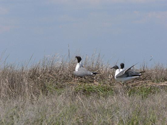 Salt Marsh Safari-The Skimmer: Laughing Gulls on Nests
