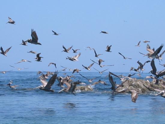 Bahia de Los Angeles: pelicans in flight