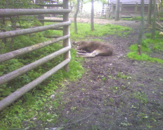 Abbes Hotel Slussen: also the elk lie down here