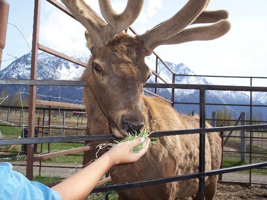 Reindeer Farm: Feeding Grass to the Elk