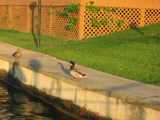 Ducks enjoying sunset at Country Inn Lake Resort.