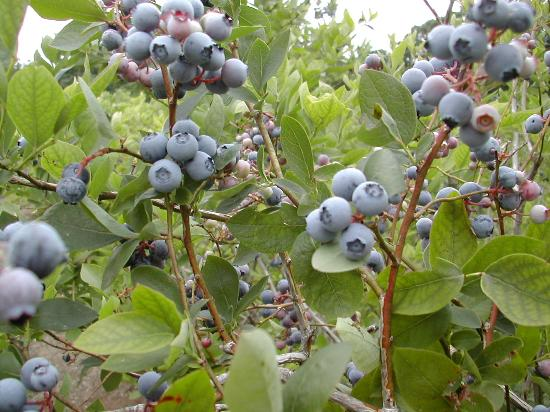 Lampe, MO: Lots and lots of berries (mid-June)
