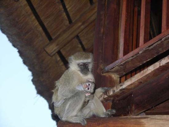 Victoria Falls Safari Lodge: Monkeys on our balcony