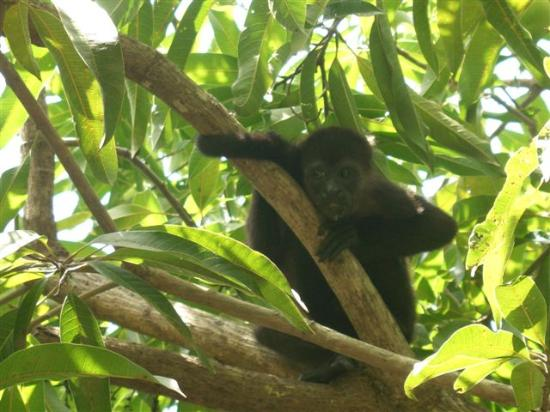 Hotel Punta Islita, Autograph Collection: Howler Monkey we photographed during one of our nature walks
