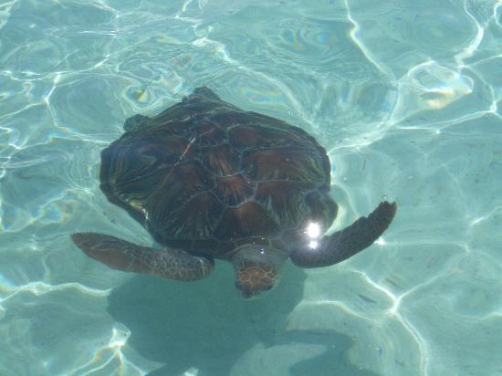 Lily Beach Resort & Spa: Turtle