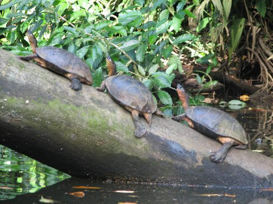 Laguna Lodge Tortuguero: River turtles