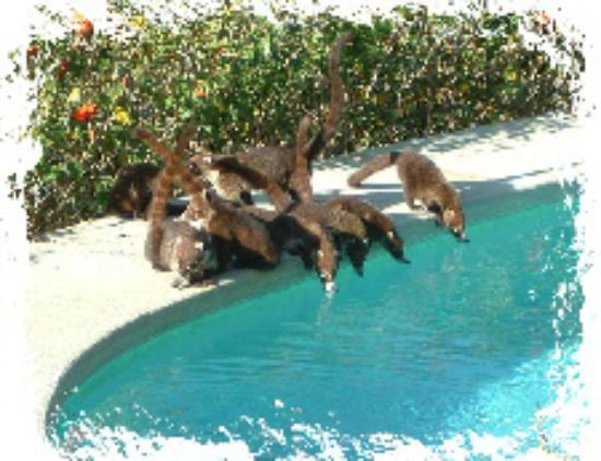 Villa Mango: Thirsty coatis by the pool