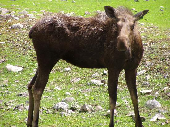 Kamloops Wildlife Park: Moose - BC Wildlife Park