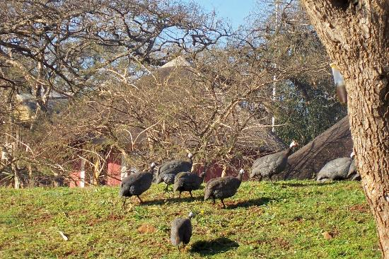 Ascot Inn: Guinea fowl running round the grounds