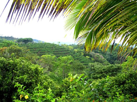 Hotel Buena Vista: Coffee plantation view