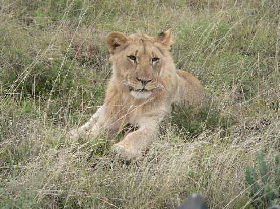 Kwandwe Private Game Reserve, Afrique du Sud : A one year old lion cub