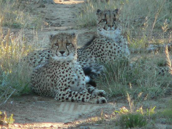 Kwandwe Private Game Reserve, แอฟริกาใต้: Two young cheetah cubs