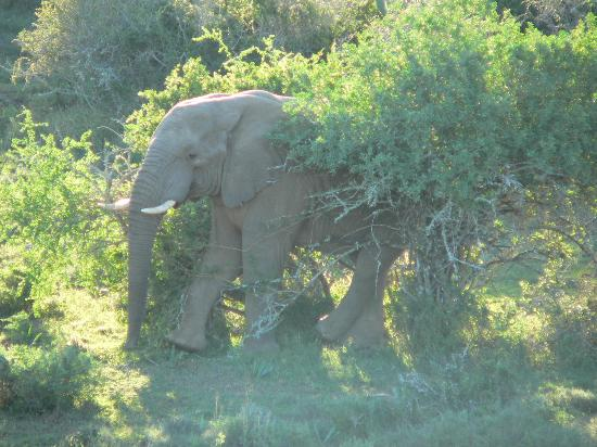 Kwandwe Private Game Reserve, Sudáfrica: I've never seen an elephant cross his legs before!