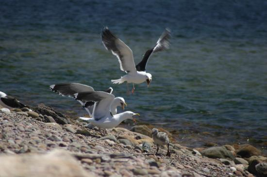 Island Sunset Resort: Gulls squabble over a chick at the harbour close to the resort