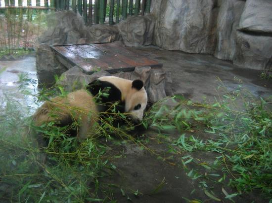 Shanghaiansk, Kina: Panda munching on bamboo shoots